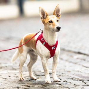 chien avec harnais pour chien rouge