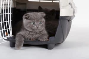 petit chat dans une caisse de transport pour chat