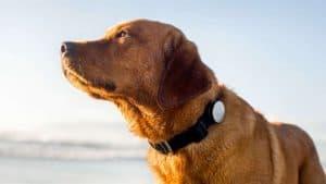 collier de dressage pour chien grand
