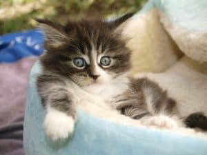 petit chat dans un panier pour chat