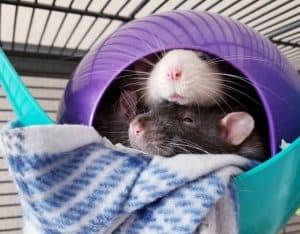 rats dans une cage de rat