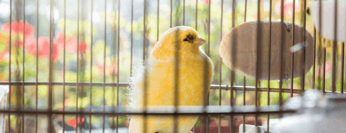 oiseau jaune dans une cage pour oiseaux