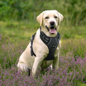 chien grand avec harnais pour chien