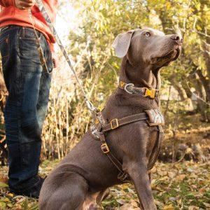 chien grande avec harnais
